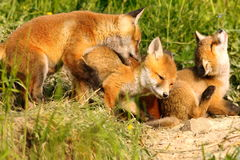 Family of red foxes playing near the den Royalty Free Stock Images