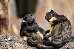 Family of the red-handed midas tamarin monkeys. New World monkey royalty free stock photo