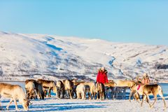 Family with reindeer. Family of mother and her daughter surrounded by many reindeer on sunny winter day in Northern Norway Royalty Free Stock Images