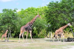 Family of Reticulated Giraffes Stock Photography