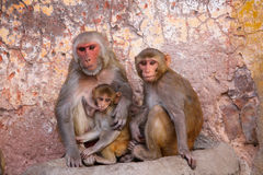 Family of Rhesus macaques sitting in Jaipur, Rajasthan, India Stock Photography