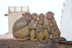 Family of rhesus Stock Image