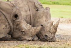 Family of rhino. Sleep on the ground royalty free stock photo