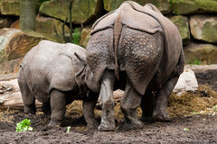 Family of rhinos Royalty Free Stock Images