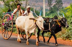 Family rides in ox cart from fields to home, while man talks on. BADAMI, INDIA, MAR 18, 2018: Family rides in ox cart from fields to home, while man talks on stock photos