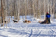 Family riding husky dogs sled in Lapland in Finland Royalty Free Stock Image