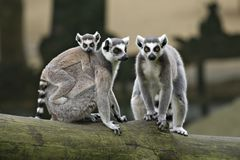 Family of Ring Tailed Lemurs Royalty Free Stock Images