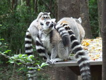 Family of Ringtailed Lemurs. Having a picnic in Plettenberbay South Africa Royalty Free Stock Photography