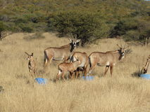 A family of roan Antelope Royalty Free Stock Photos