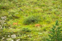 Family of  roe deer grazing in the meadow Royalty Free Stock Photo