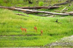 Family of  roe deer grazing in the meadow Royalty Free Stock Images