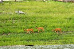 Family of  roe deer grazing in the meadow Stock Images