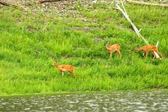 Family of  roe deer grazing in the meadow Royalty Free Stock Photos