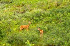 Family of  roe deer grazing in the meadow Stock Photos