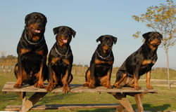 Family of rottweiler Stock Image