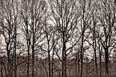 Family. Row of bare trees ,standing high together as a family . Beautiful shape of them is filling the frame and they look just great on sepia tone royalty free stock photos