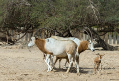 Family of Sahara scimitar antelope Oryx Stock Images