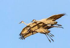 Family of 4 sandhill cranes flying in very tight formation, the adult birds are flanking the two juveniles. When migration time arrives, these birds demonstrate Royalty Free Stock Photos