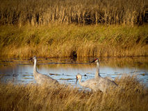 A Family of Sandhill Cranes Stock Image