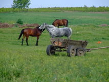 Family scene. Horses on a filed Stock Images