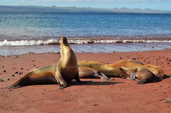Family of sea lions. Resting on a beach Stock Images