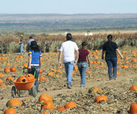 A Family Searches a Pumpkin Patch for Pumpkins Royalty Free Stock Image