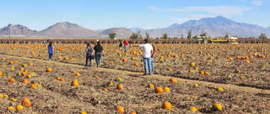 A Family Searches a Pumpkin Patch for Pumpkins. WILCOX, ARIZONA - OCTOBER 26: Apple Annie's Orchard on October 26, 2013, in Wilcox, Arizona. A family searches a Stock Photos