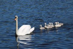 The Magnificent Seven: Family of Mute Swan Cygnets with their Mother royalty free stock photo