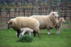 A family of sheep feeding. A family of sheep with mother feeding her lambs on the south island of New Zealand Royalty Free Stock Photos