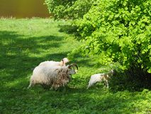 Family of sheep in a field stock images