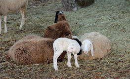 Family of sheep with little lamb in the meadow Royalty Free Stock Photos