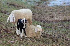 Family of sheep with young lamb in the meadow Royalty Free Stock Image