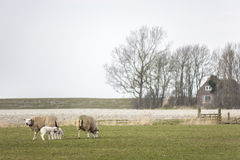 Family of sheep with young lambs grazing in the meadow, eating fresh spring grass Royalty Free Stock Photo