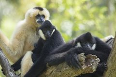 Family of siamang gibbon on tree branch Stock Photos