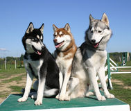 Family siberian husky. Family of dog huskys sitted on a table Royalty Free Stock Image
