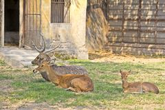 Family of Sila deers Stock Images