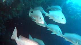 Family silver fish in search of food on background of seabed underwater. stock video