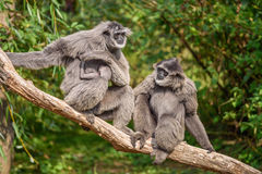 Family of silvery gibbons with a newborn. Family of silvery gibbons (Hylobates moloch) with a newborn. The silvery gibbon ranks among the most threatened species stock images