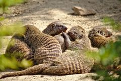 Family of six banded mongooses huddled together in the desert sand Stock Images