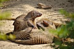 Family of six banded mongooses huddled together in the desert sand Royalty Free Stock Photo