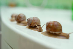 Family snail. Travels at a designated route Royalty Free Stock Photos