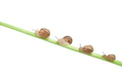 Family of snail climbing Stock Image