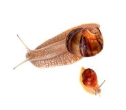 Family of snails isolated on white background Royalty Free Stock Photo