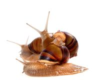 Family of snails on top of one another Stock Image