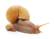 Family of snails. Stock Photos