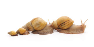 Family of snails. Stock Photo