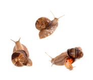 Family of snails on white background Stock Images