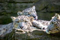 Family of snow leaopards royalty free stock photos
