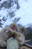 Family Snow Monkey Royalty Free Stock Images