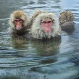 Family of Snow monkeys in water of natural hot springs. The Japanese macaque Scientific name: Macaca fuscata, also known as the stock photo